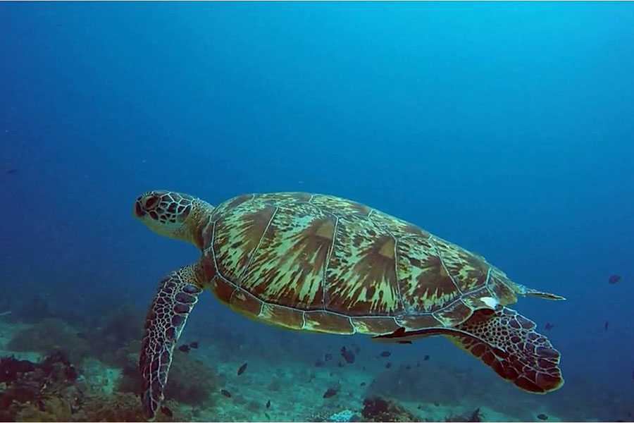 Camiguin turtles are so cute!