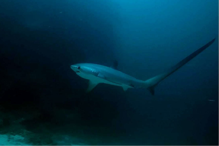 Thresher Sharks in Malapascua