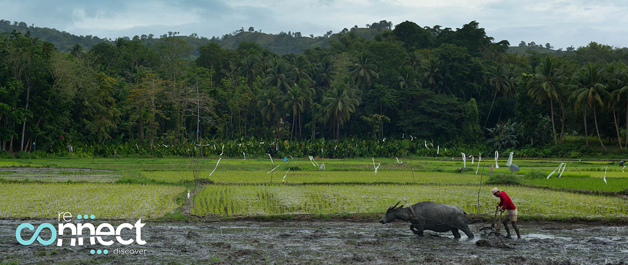 Farmer plowing a rice field with his water buffalo