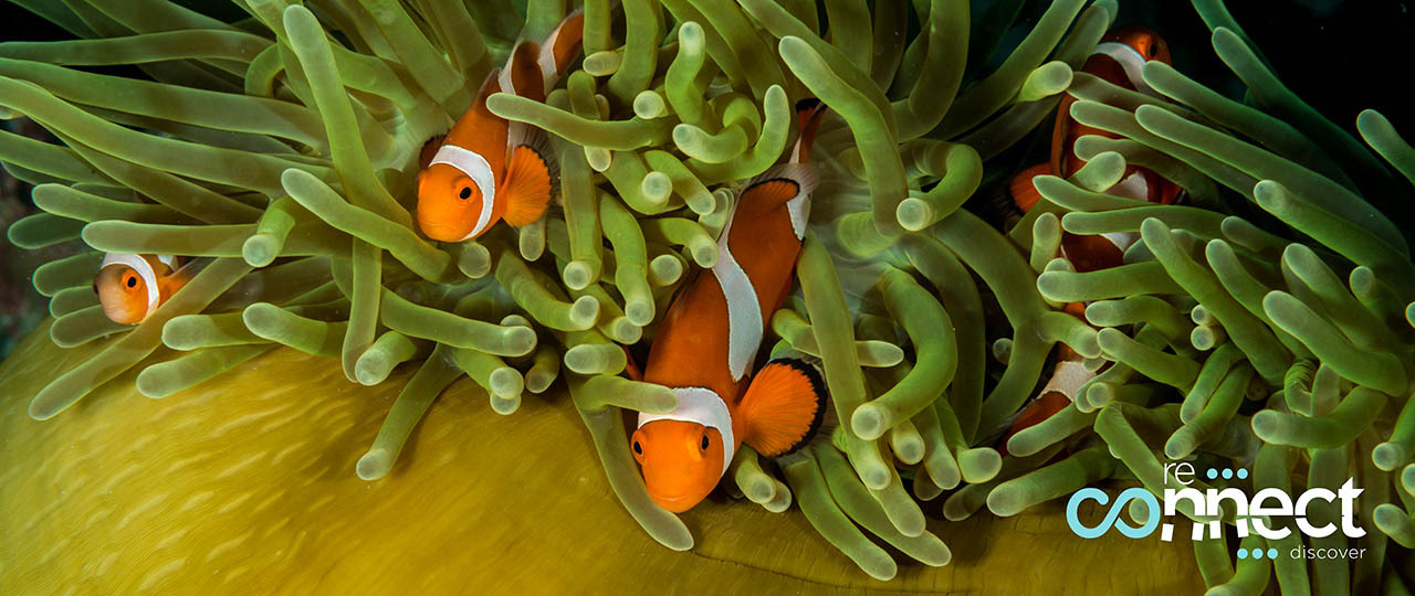 False clownfish darting around a closed magnificent sea anemone