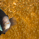 Anemonefish – A wolf in sheep's clothes